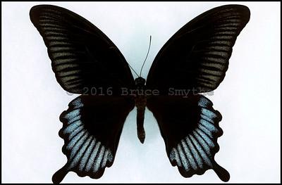 Papilio Ascalaphus -Male