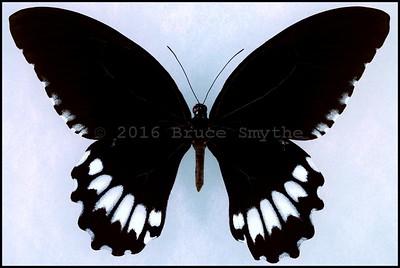 Papilio Jordani(Jordan's Swallowtail) -Male