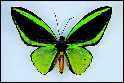 Ornithoptera Priamus Poseidon(Bright Light Green) -Male