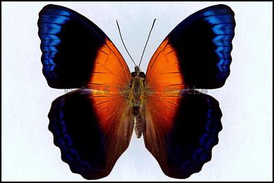 Cirrochroa Regina -Male -Recto