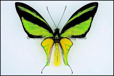 Ornithoptera Meridionalis Tarunggarensis -Male