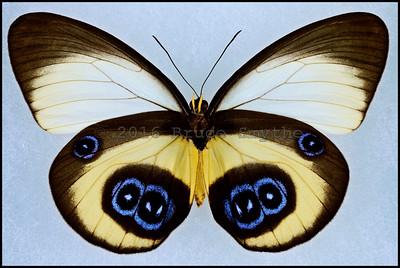 Taenaris Bioculatus -Female -Verso