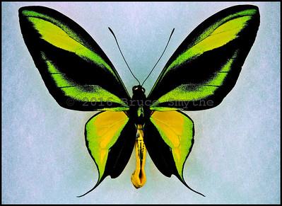 Ornithoptera Paradisea Arfakensis -Male