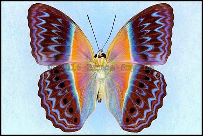 Cirrochroa Regina -Male -Verso