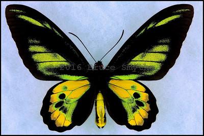 Ornithoptera Rothschildi -Male