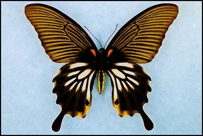 Papilio Memnon -form Achates -Female