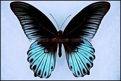 Papilio Memnon Coeruleus -Male