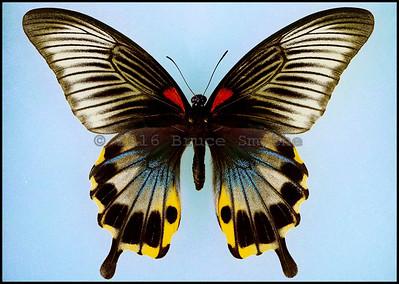 Papilio Memnon Coeruleus -Female