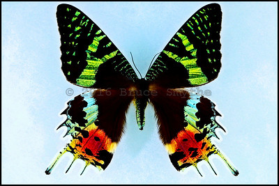 Chrysiridia Ripheus(Madagascan Sunset Moth) -Female -Recto