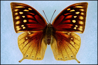 Anaea Nobilis(Nobil Leafwing) -Female