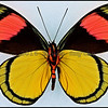 Batesia Hypochlora -Male -Verso