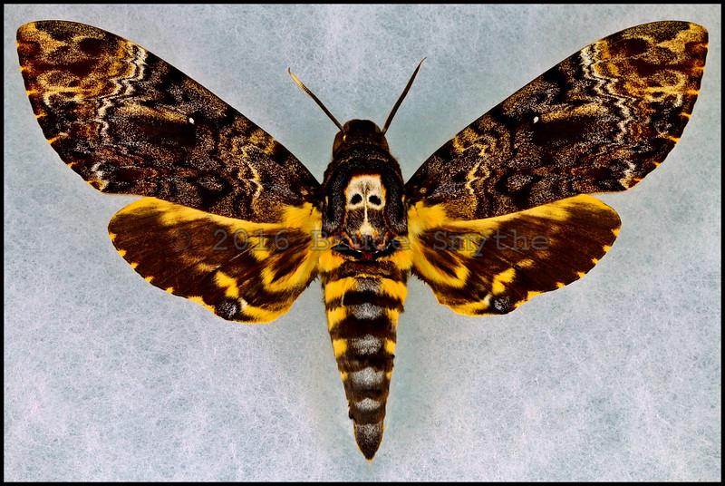 Acherontia Lachesis(Death's-Head Hawkmoth) -Male -India