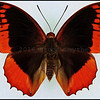 Charaxes Protoclea(Flame-Bordered Emperor) -Male