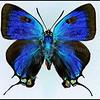 Atlides Halesus(Great Purple Hairstreak) -Male