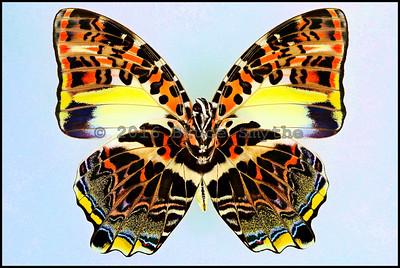 Lepidoptera A thru C