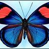 Batesia Hypochlora -Male -Recto