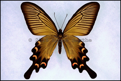 Byasa Alcinous Mansonensis(Chinese Windmill) -Female