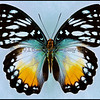 Cymothoe Beckeri -Female