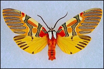 Anaxita Decorata(Decorated Beauty) -Female