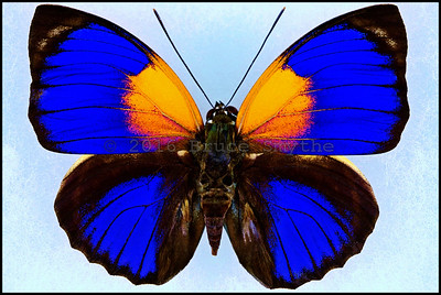 Agrias Phalcidon Fournierae -Form Viola -Male