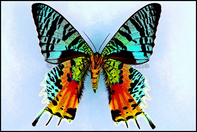 Chrysiridia Ripheus(Madagascan Sunset Moth) -Female -Verso