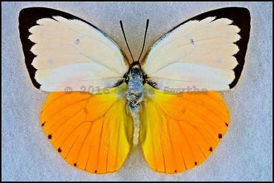 Catopsilia Scylla(Orange Migrate) -Male