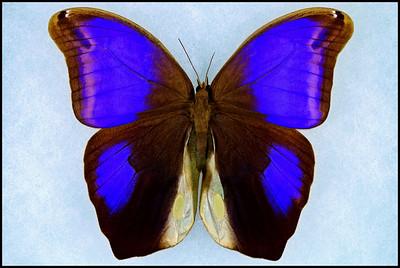 Eryphanis Polyxena(Purple Mort Bleu) -Male