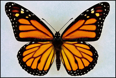 Danaus Plexippus(Monarch) -Male -Recto