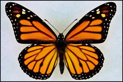 Lepidoptera D thru M
