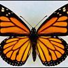 Danaus Plexippus(Monarch) -Male -Recto