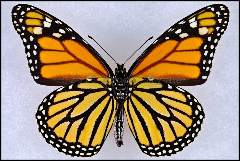 Danaus Plexippus(Monarch) -Male -Verso
