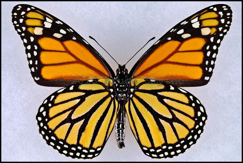 Danaus Plexippus(Monarch) -Male -Verso