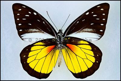 Delias ssp. -Male -Verso