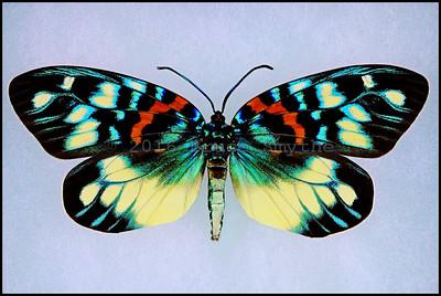 Erasmia Pulchera Chinensis -Female