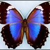 Morpho Violacea -Female -Recto