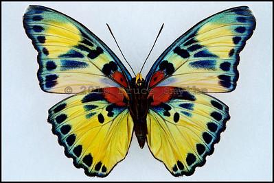 Euphaedra Adonina(Golden Themis Forester) -Female -Verso