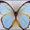 Morpho Godartii Lachaumei -Male