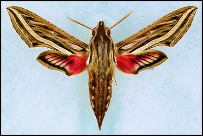 Hippotion Celerio(Silver-Striped Hawk-Moth) -Male