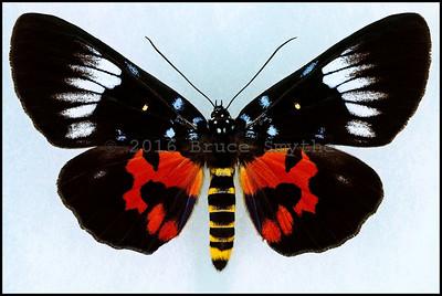 Day Flying Moth-1 -Bali Island, Indonesia