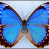 Morpho Anaxibia -Female