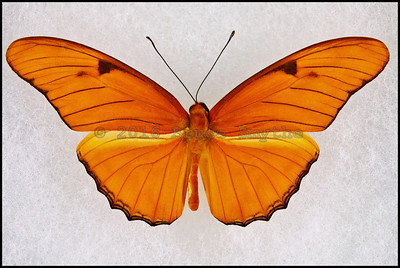 Dryas Iulia Nudeola(Julia Butterfly) -Male