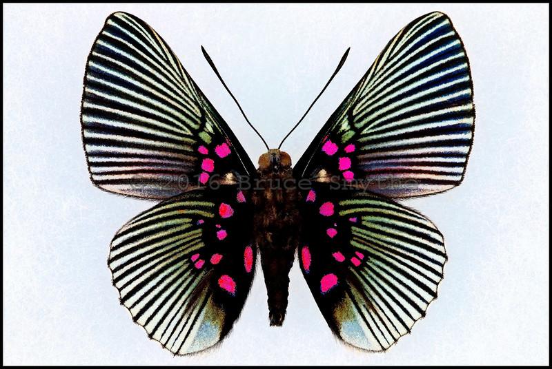 Lyropteryx Apollonia -Male -Verso -Peru