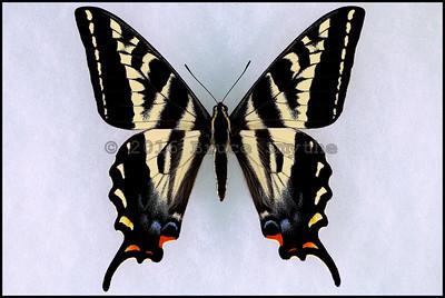 Papilio Eurymedon(Pale Swallowtail) -Male