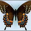 Papilio Troilus(Spicebush Swallowtail) -Male -Verso