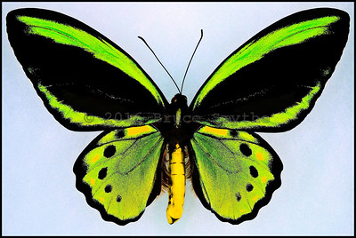 Ornithoptera Euphorion(Bright Golden Green) -Male -Recto