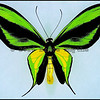 Ornithoptera Paradisea Chrysanthemum -Male