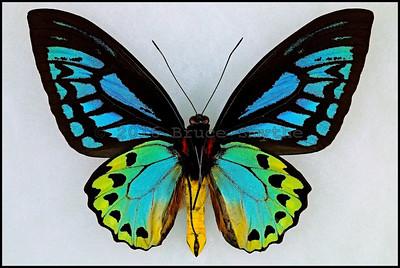 Ornithoptera Priamus Caelestis -Male -Verso