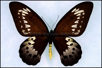 Ornithoptera Goliath Procus -Female