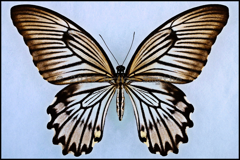 Papilio Jordani(Jordan's Swallowtail) -Female