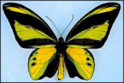 Ornithoptera Chimaera Chimaera -Male